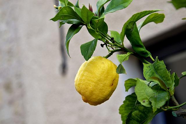 Gyors és egyszerű a citromfa vásárlás