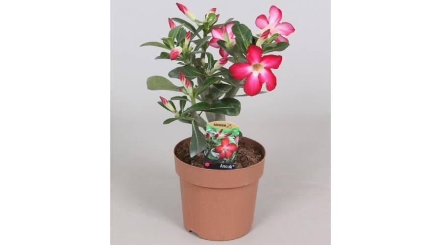 A sivatagi rózsa eladó alacsony áron